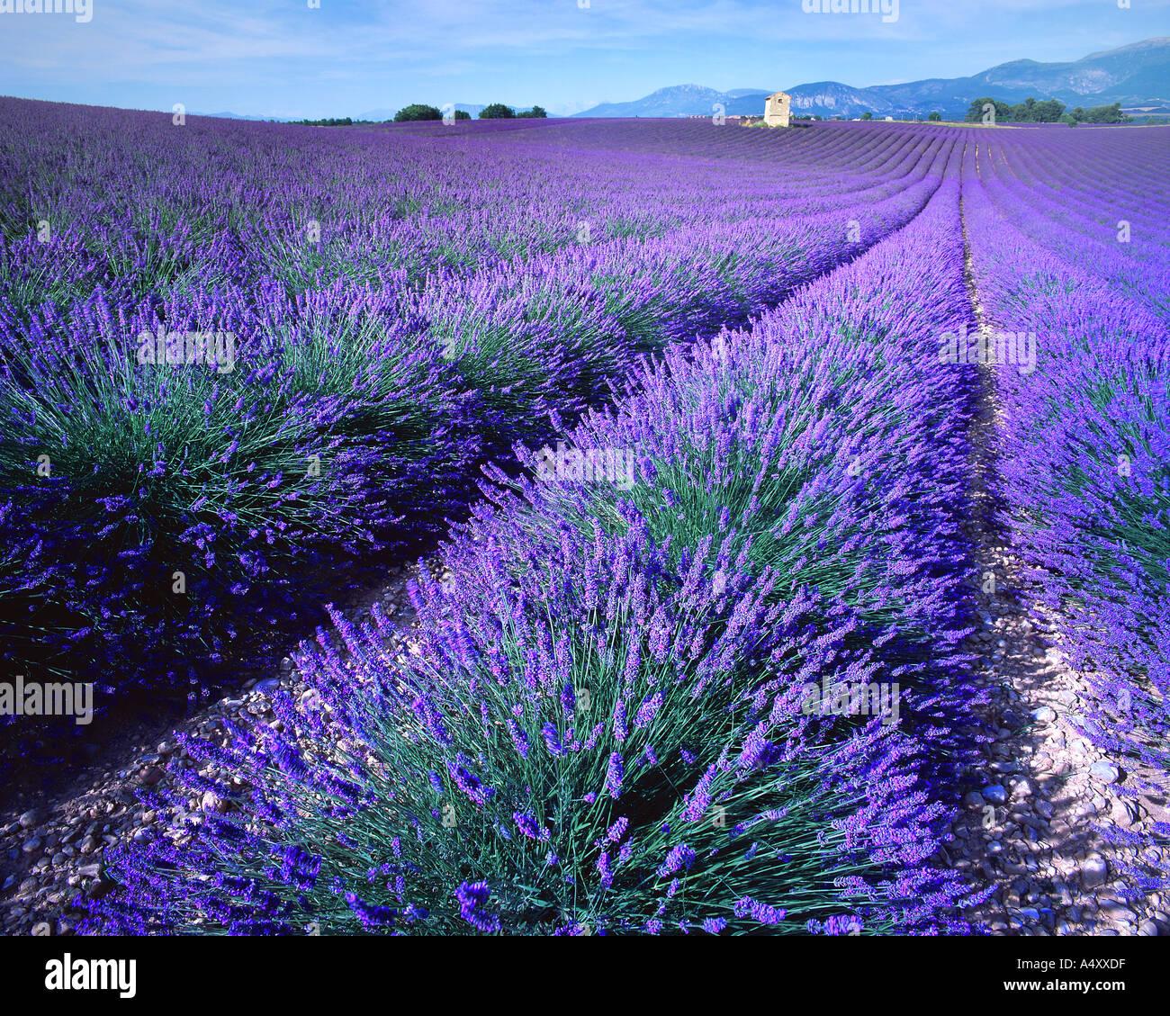 FR - ALPES DE HAUTE PROVENCE: Lavendel Feld Stockbild