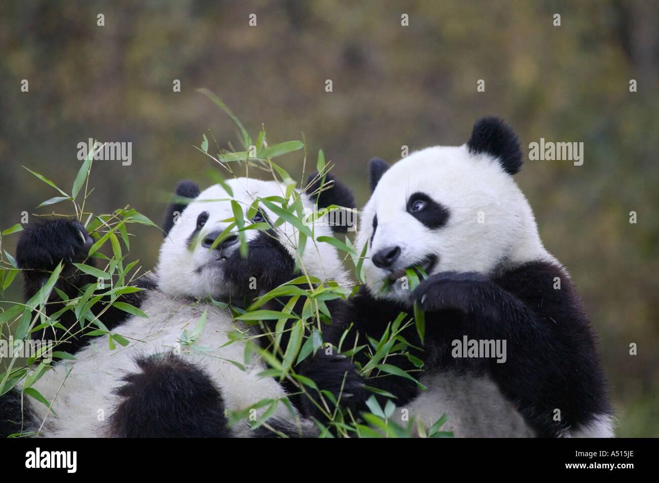 Zwei Panda Jungen Bambus Wolong Sichuan China Essen Stockfoto Bild