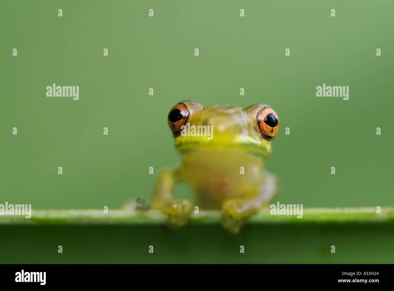 Puerto rican coqui eleutherodactylus coqui frosch reptilien amphibien fr sche stockfoto bild - Frosch auf englisch ...