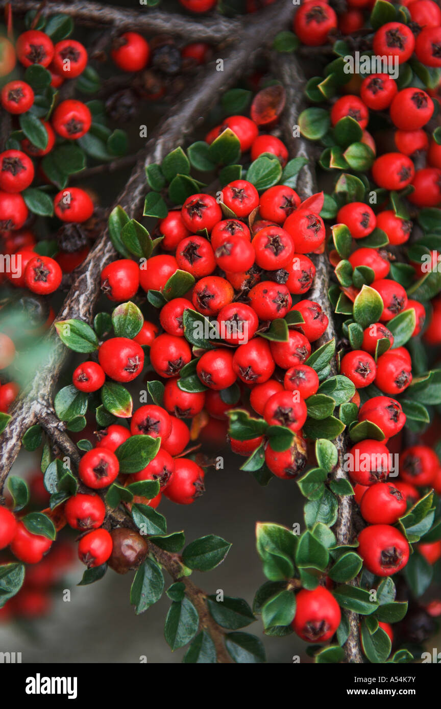 close up cotoneaster horizontalis stockfotos close up cotoneaster horizontalis bilder alamy. Black Bedroom Furniture Sets. Home Design Ideas