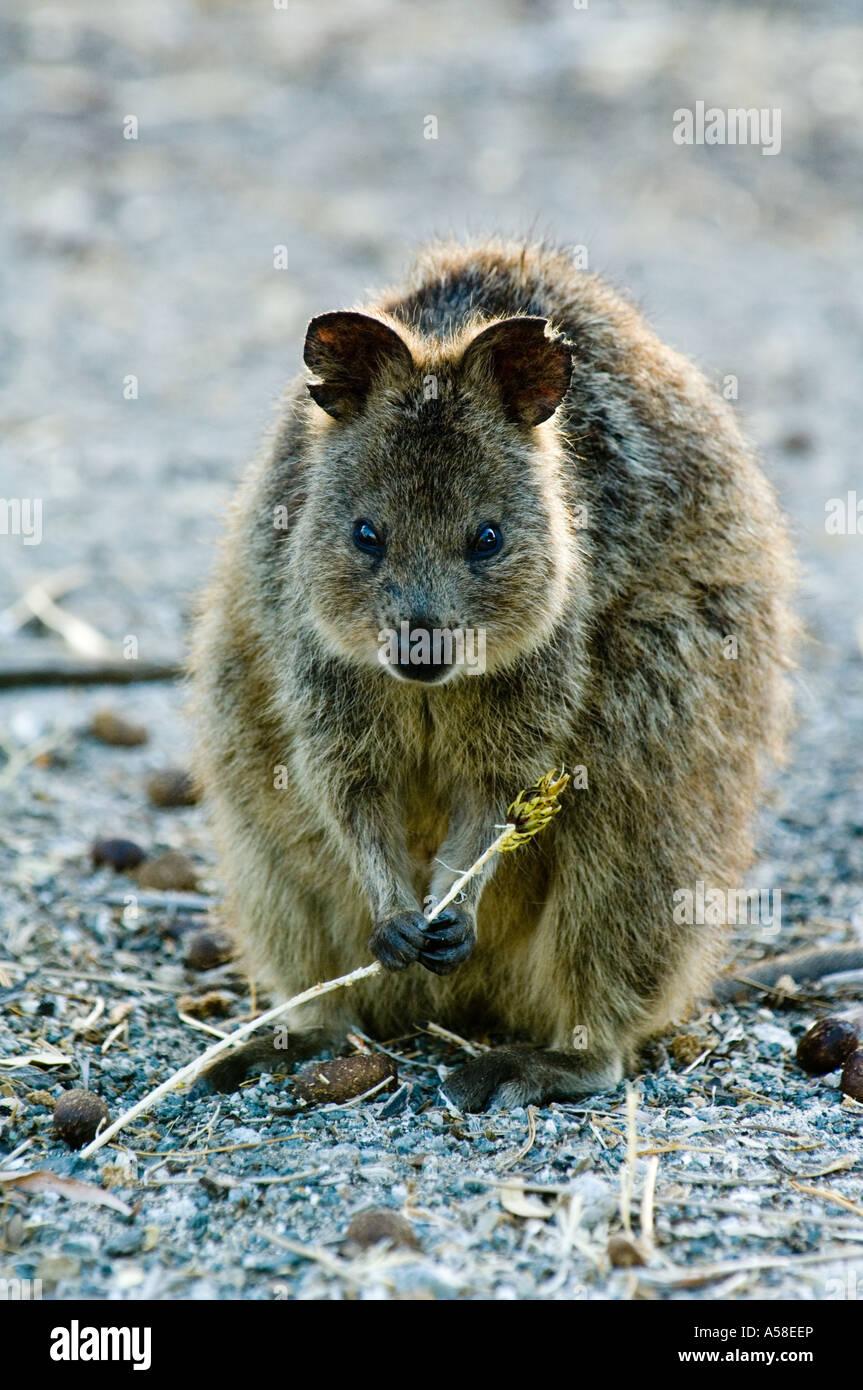 Quokka (Setonix Brachyurus) Erwachsenen, Fütterung auf ...