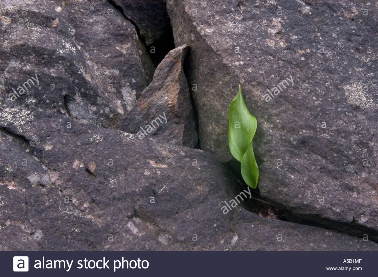 Kanada Mayflower (Maianthemum Canadense) verlässt Jung aus Felsvorsprung. Naughton auf Stockbild