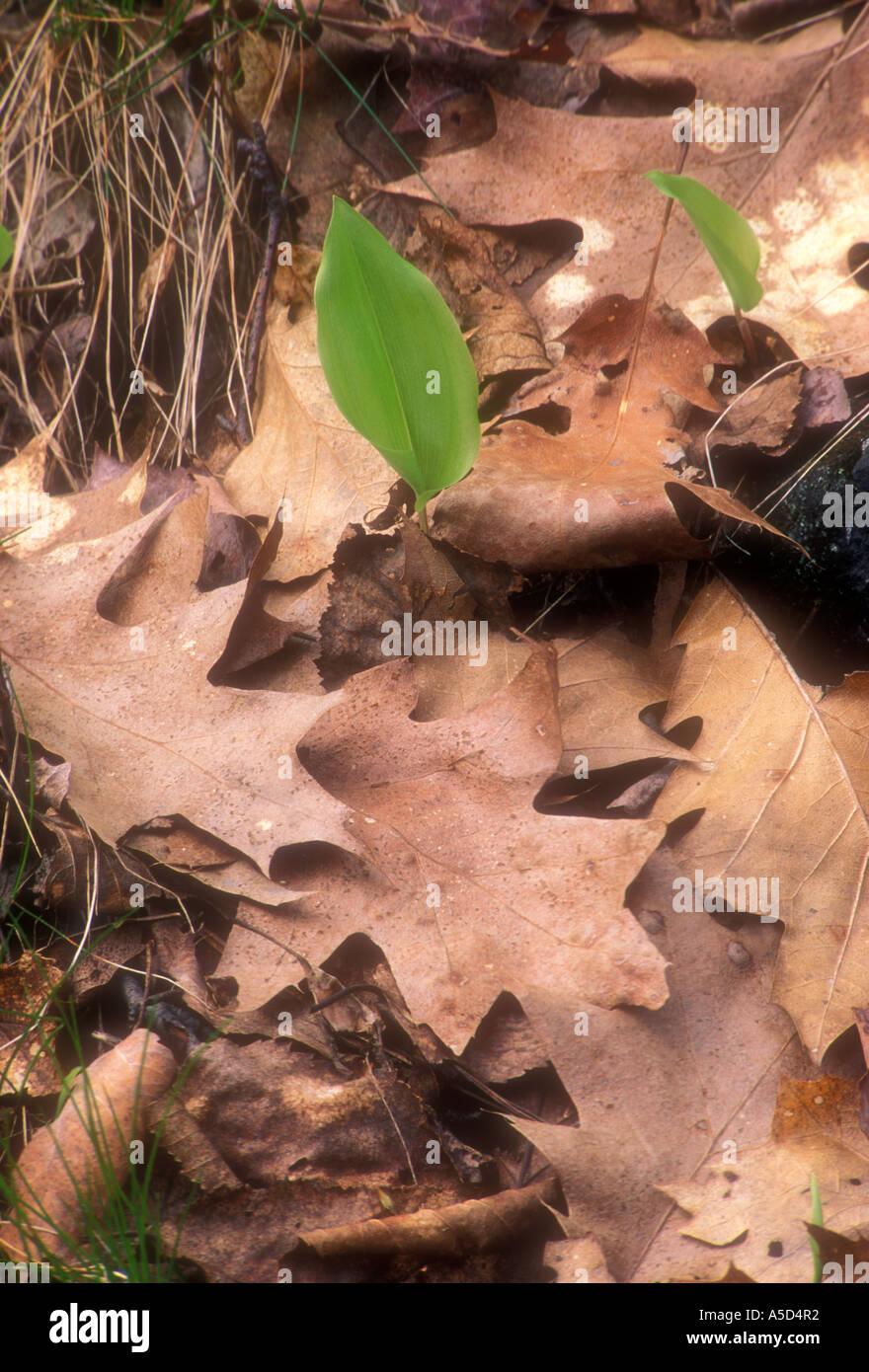 Kanada Mayflower (Maianthemum Canadense) Emerging Pflanze unter den gefallenen Eiche Blättern. Größere Sudbury Ontario Stockbild