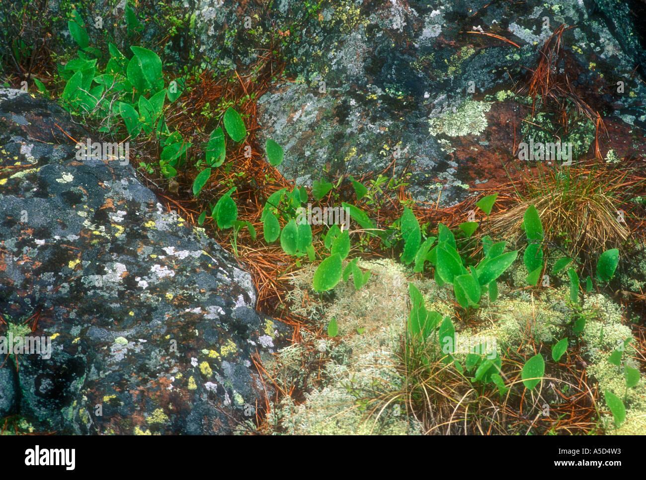 Kanada Mayflower (Maianthemum Canadense) verlässt Emerging unter Granitfelsen. Killarney Provincial Park-Ontario Stockbild