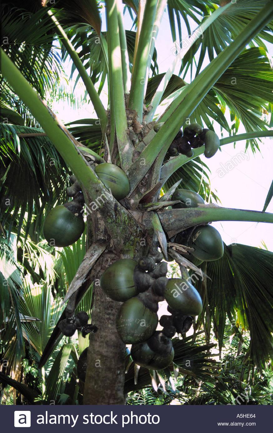 Coco de Mer Lodoicea Maldivica Forstwirtschaft von Praslin Nationalpark Praslin Insel Seychellen Stockbild