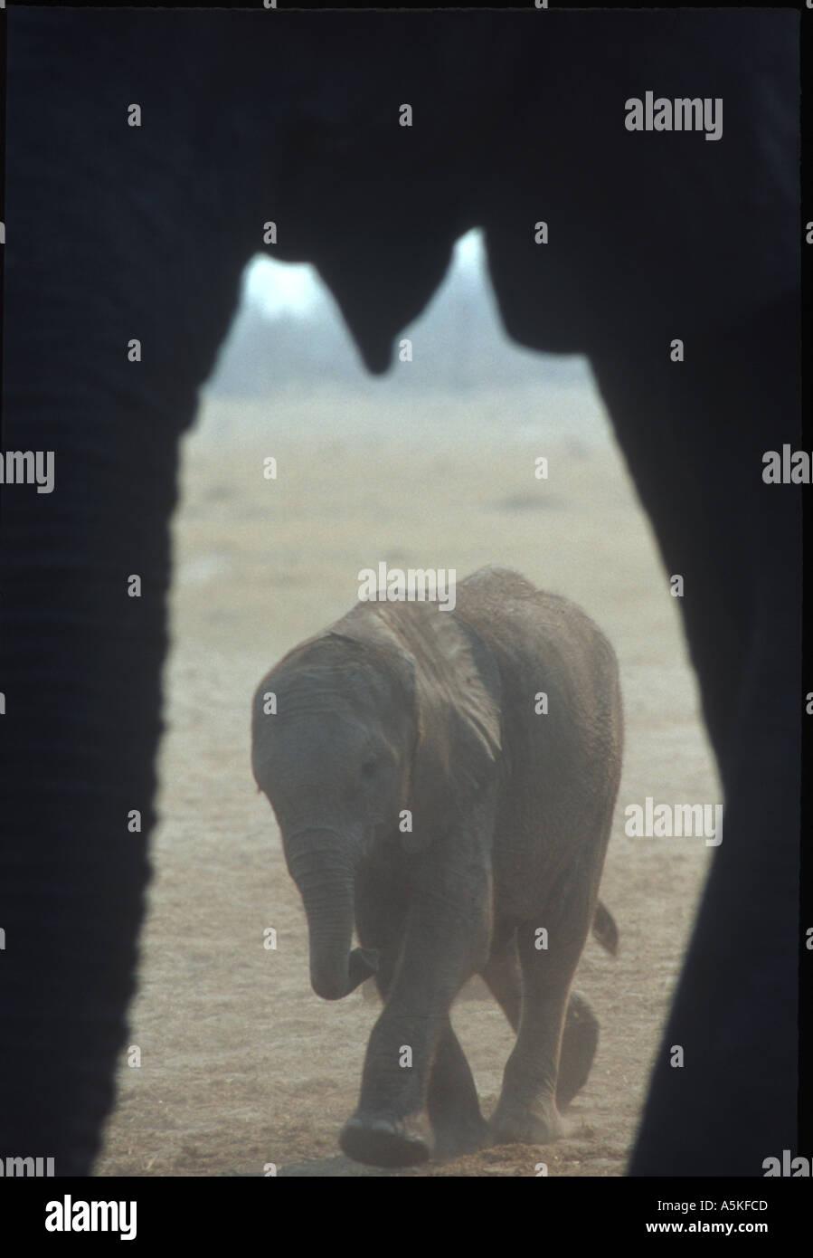 Junger Elefant umrahmt von Erwachsenen Stockbild