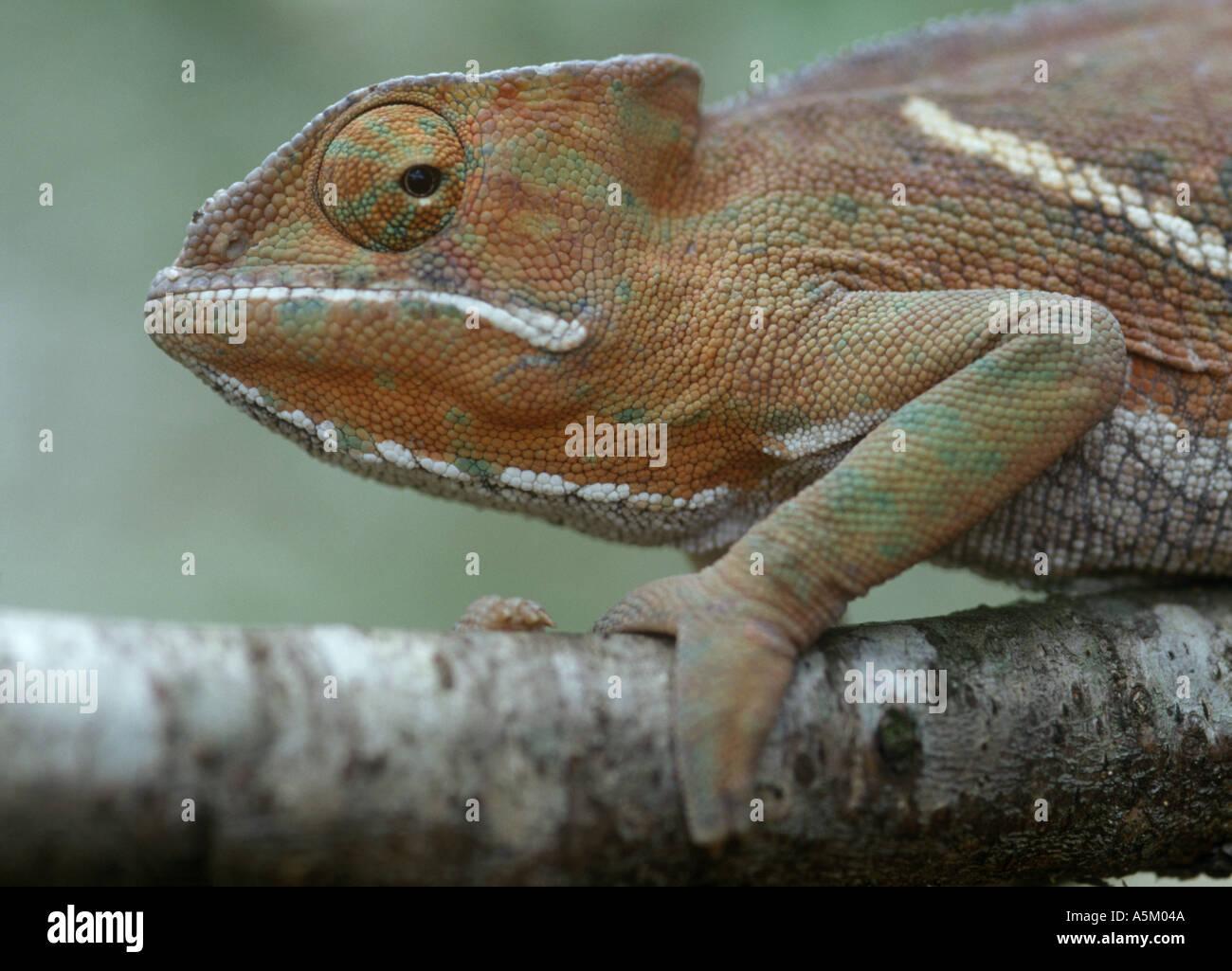 Chamäleon Furcifer Balteatus Madagaskar Stockbild