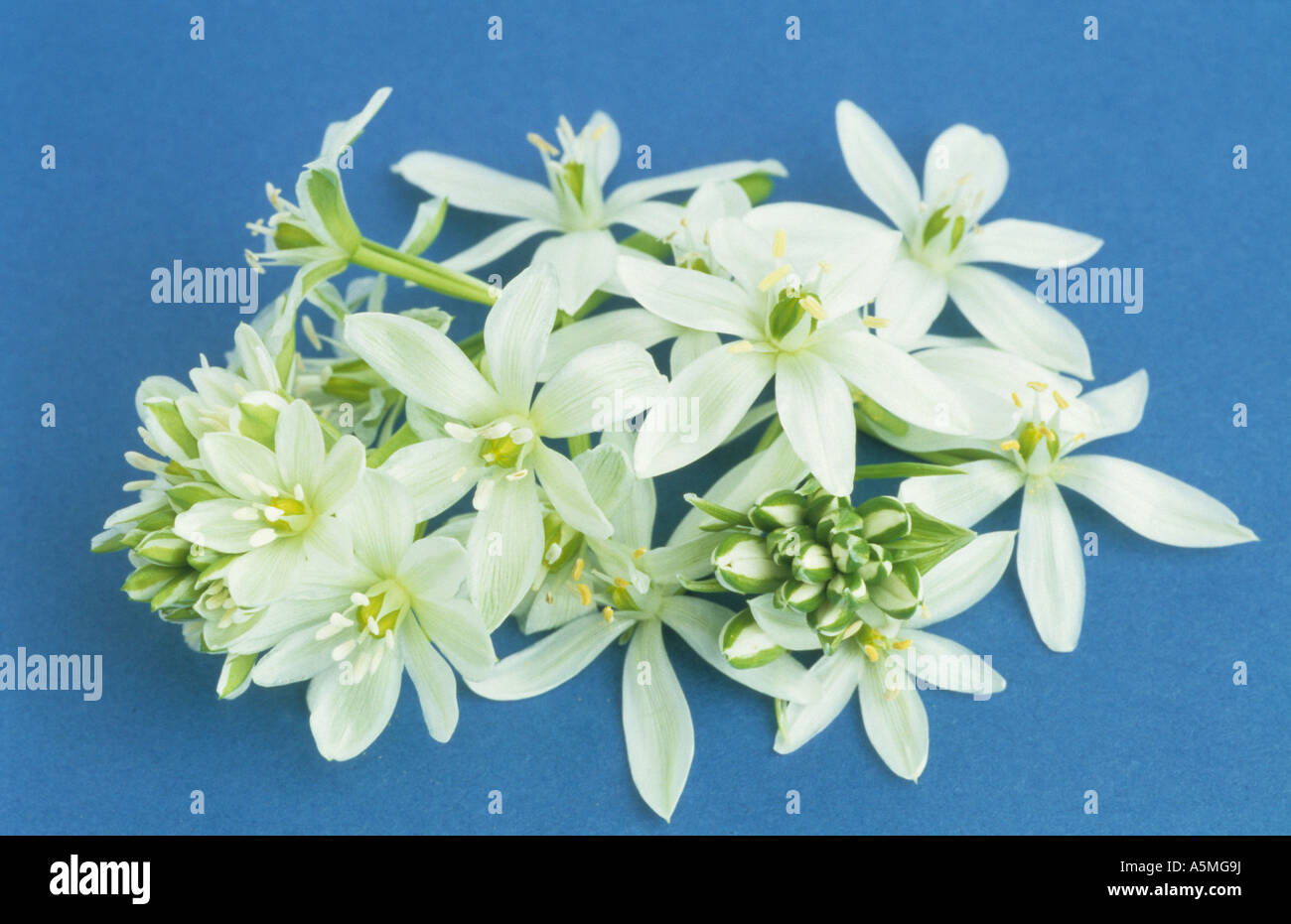 ornithogalum umbellatum stern von bethlehem gras lily. Black Bedroom Furniture Sets. Home Design Ideas