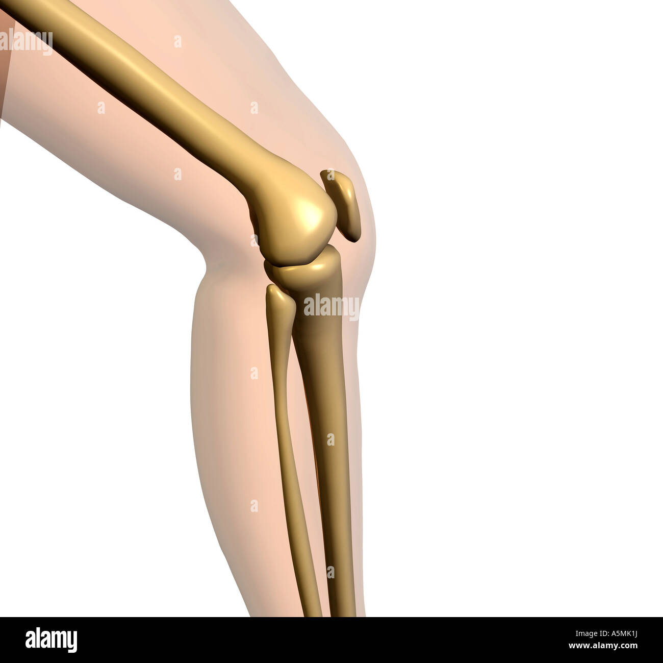 Anatomie Knie Anatomie Knie Stockfoto, Bild: 11346173 - Alamy