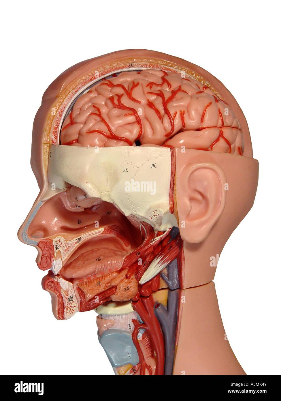 Anatomiemodell Anatomie Modell menschlichen Kopf in Stockfoto, Bild ...