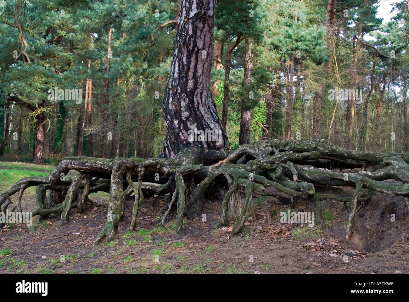 Baum wurzeln kiefer pinus sylvestris stockfoto bild - Kiefer baum kaufen ...