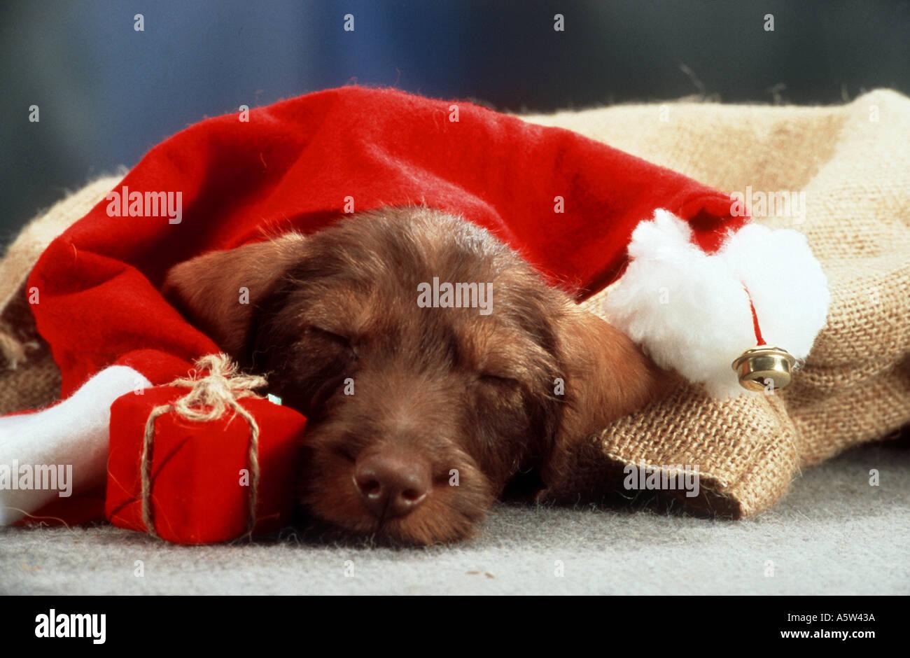 weihnachten rauhaar dackel hund schlafen unter. Black Bedroom Furniture Sets. Home Design Ideas