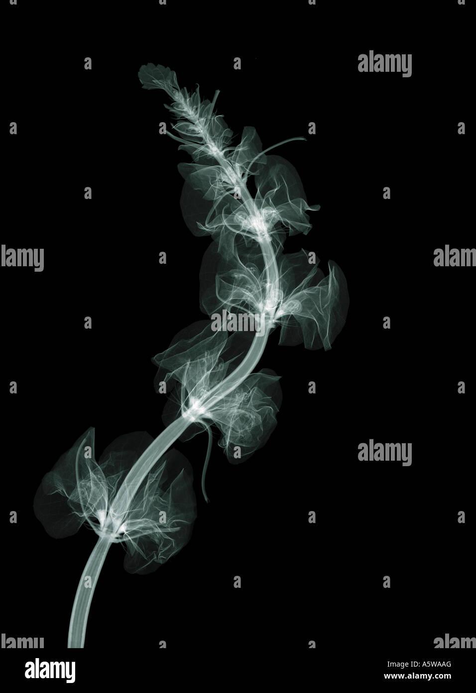 Molucella x-ray Stockbild