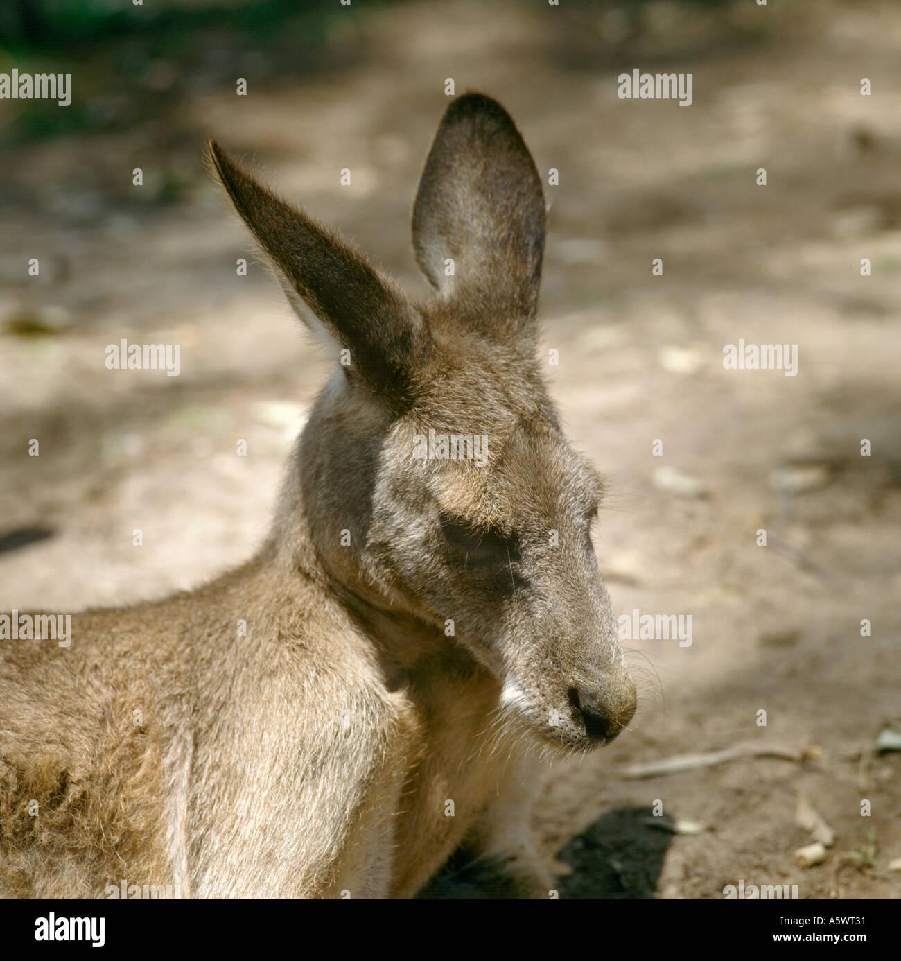 Kangaroo stockfotos kangaroo bilder alamy for Wildparks in der nahe