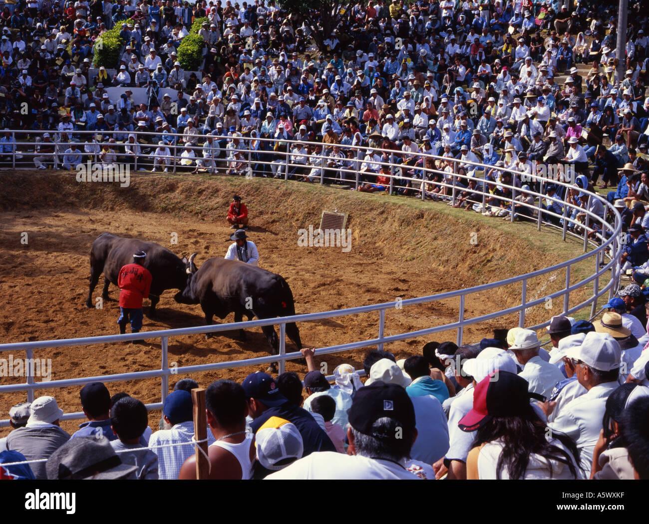 Okinawa Stierkampf - schieben sich näher zum Sumo als spanischen Stierkampf die Bulls gegenseitig bis man dreht Stockfoto