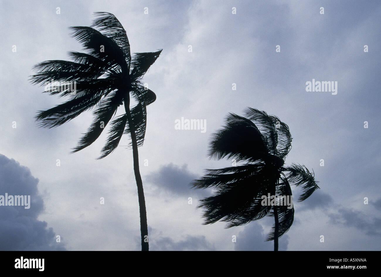 Palmen, weht in Westindien Hurrikan Winde Antigua Stockbild