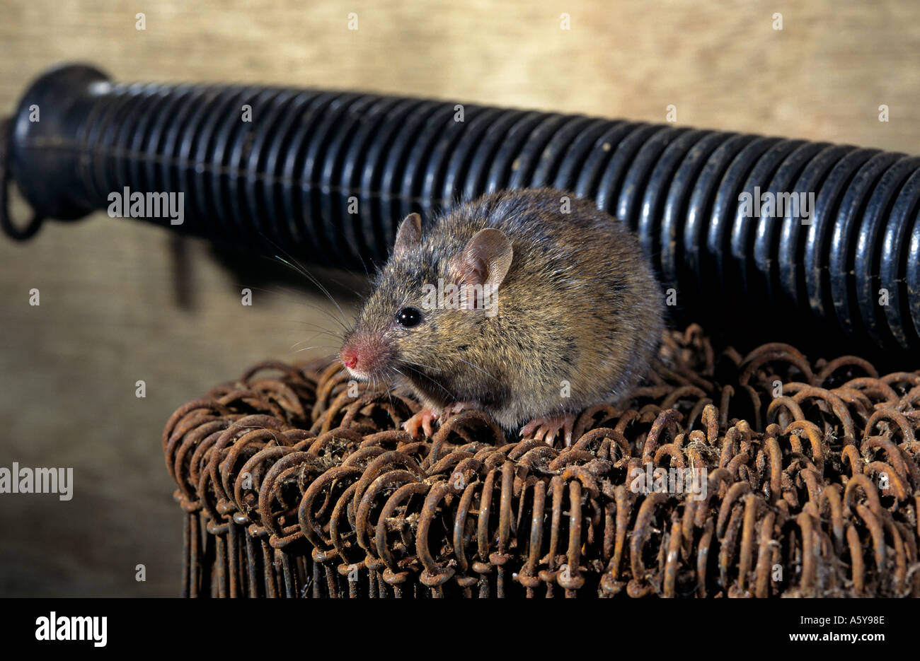 House Mouse Uk Stockfotos & House Mouse Uk Bilder - Seite 2 - Alamy