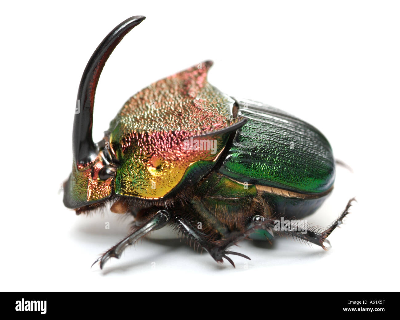regenbogen scarabbeetle mistk fer phanaeus vindex coleoptera scarabeidae m nnliche k fer. Black Bedroom Furniture Sets. Home Design Ideas
