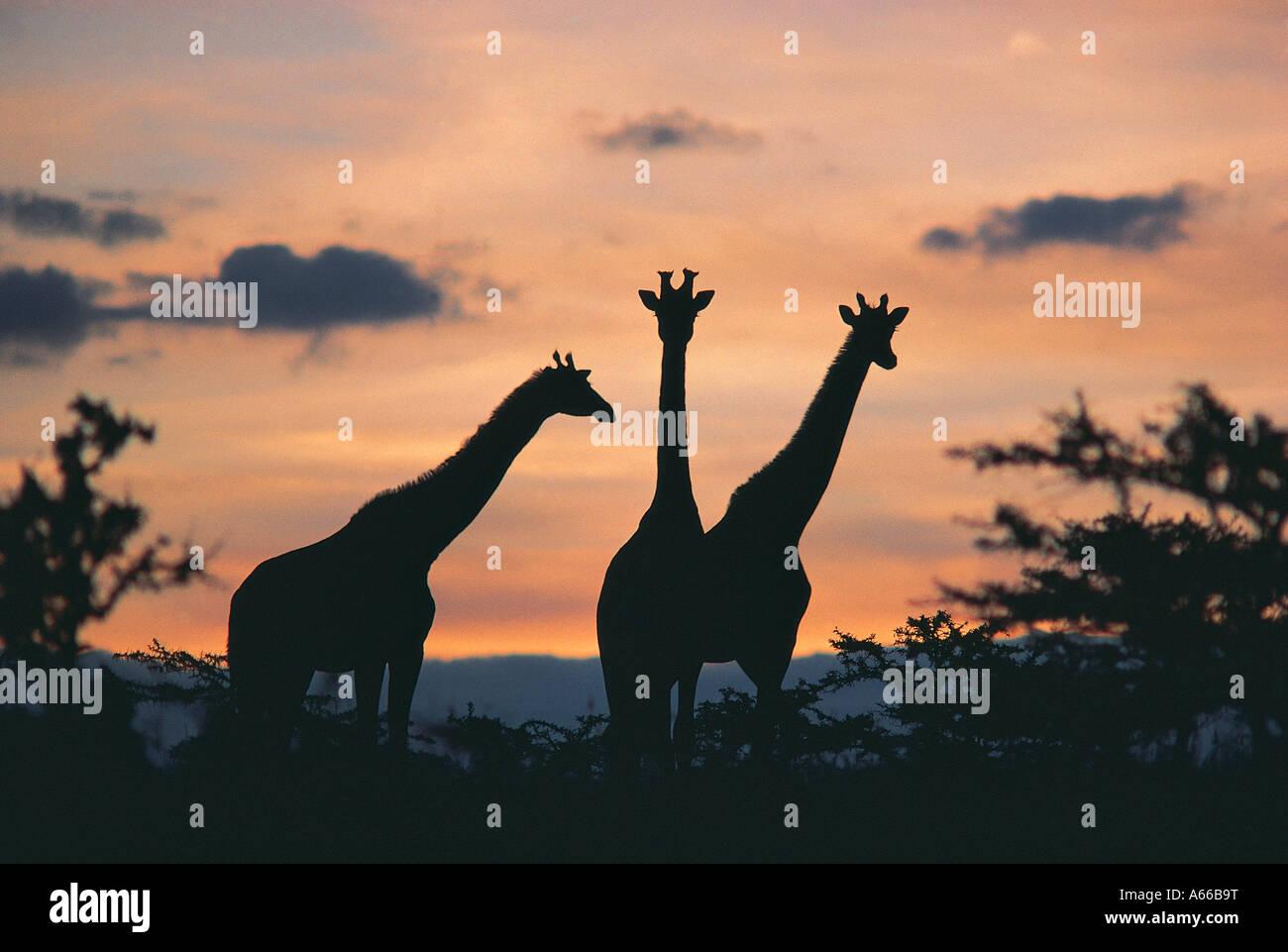 Masai-Giraffe bei Sonnenuntergang Masai Mara National Reserve Kenya Stockbild