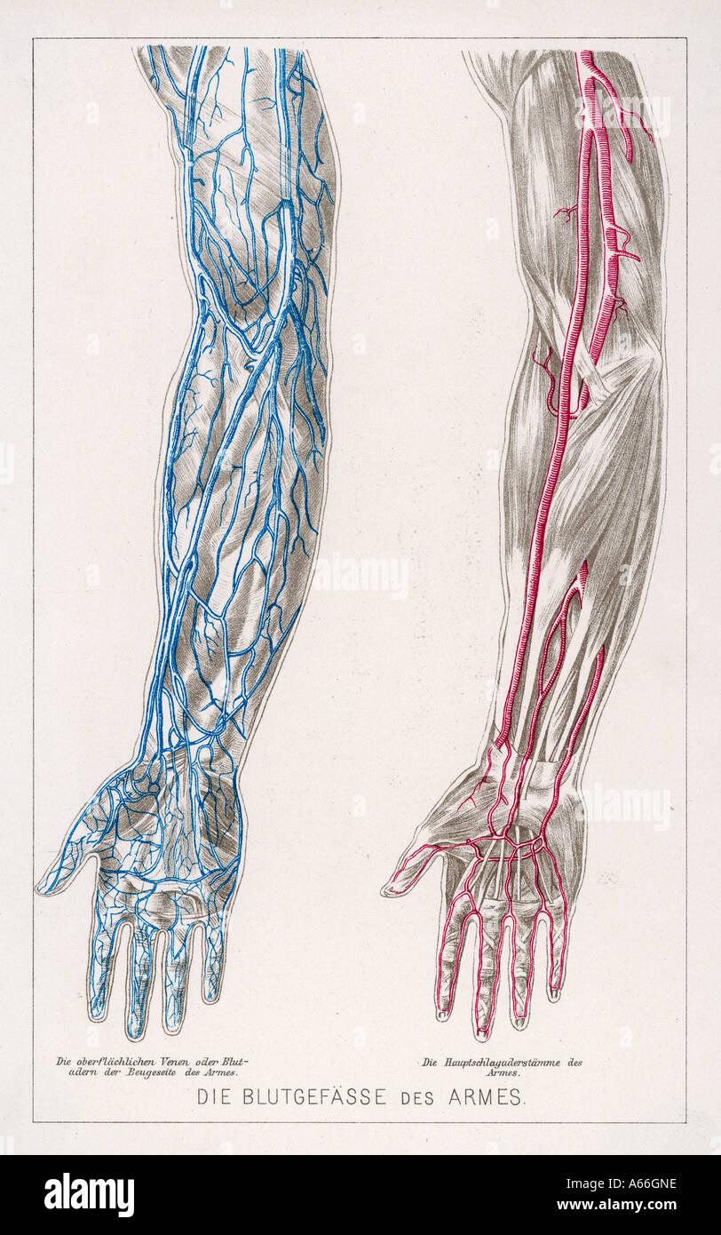 Fantastisch Zentralvenenanatomie Galerie - Anatomie Ideen - finotti.info