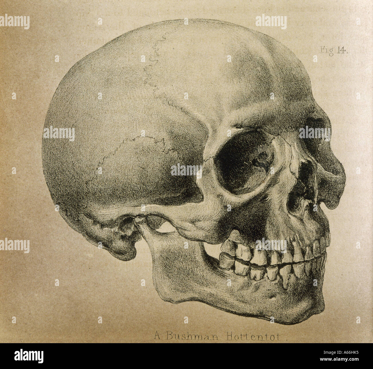 Skull Illustration Historical Stockfotos & Skull Illustration ...