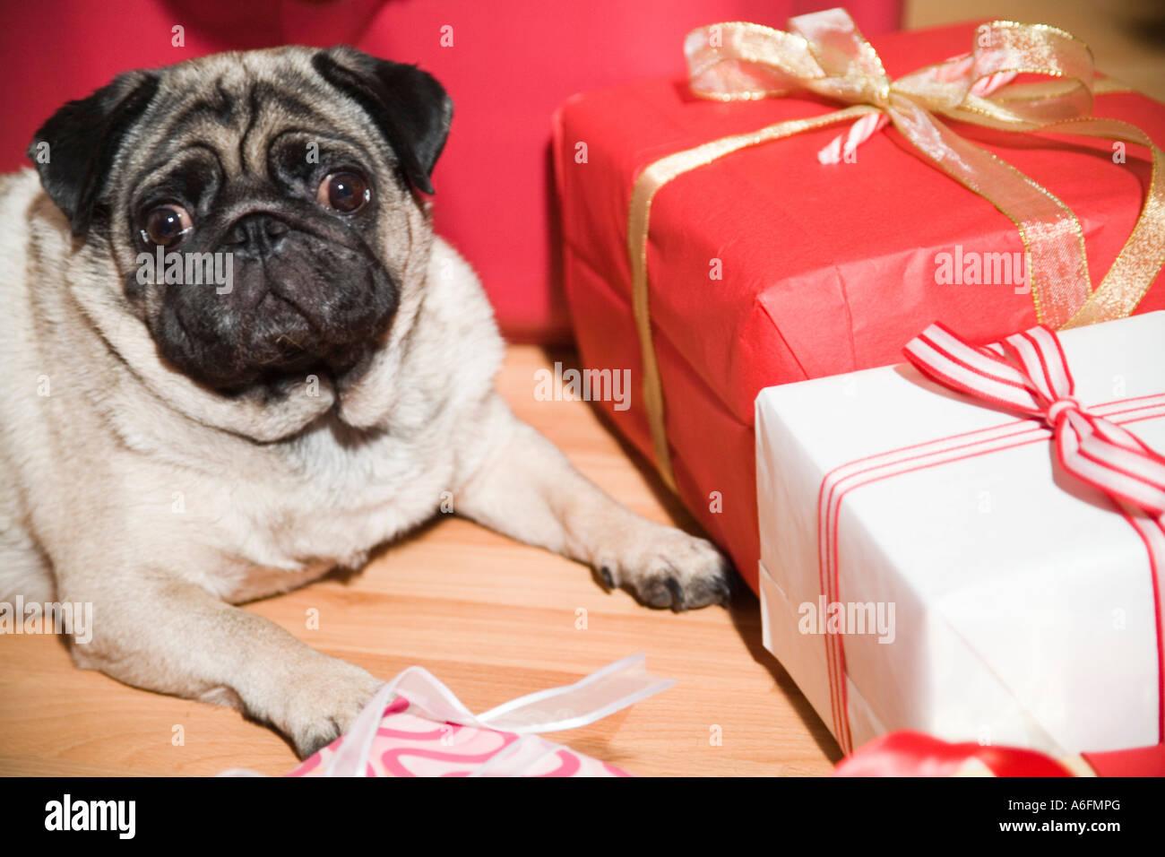 Hund mit Weihnachten Geschenke Hunderasse Mops Stockfoto, Bild ...