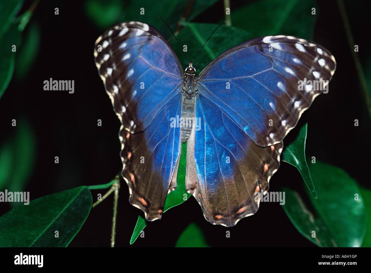 Blauer Schmetterling auf einem Blatt Stockbild