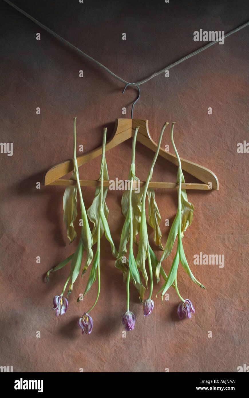 Toten Tulpen auf Kleiderbügel Stockbild