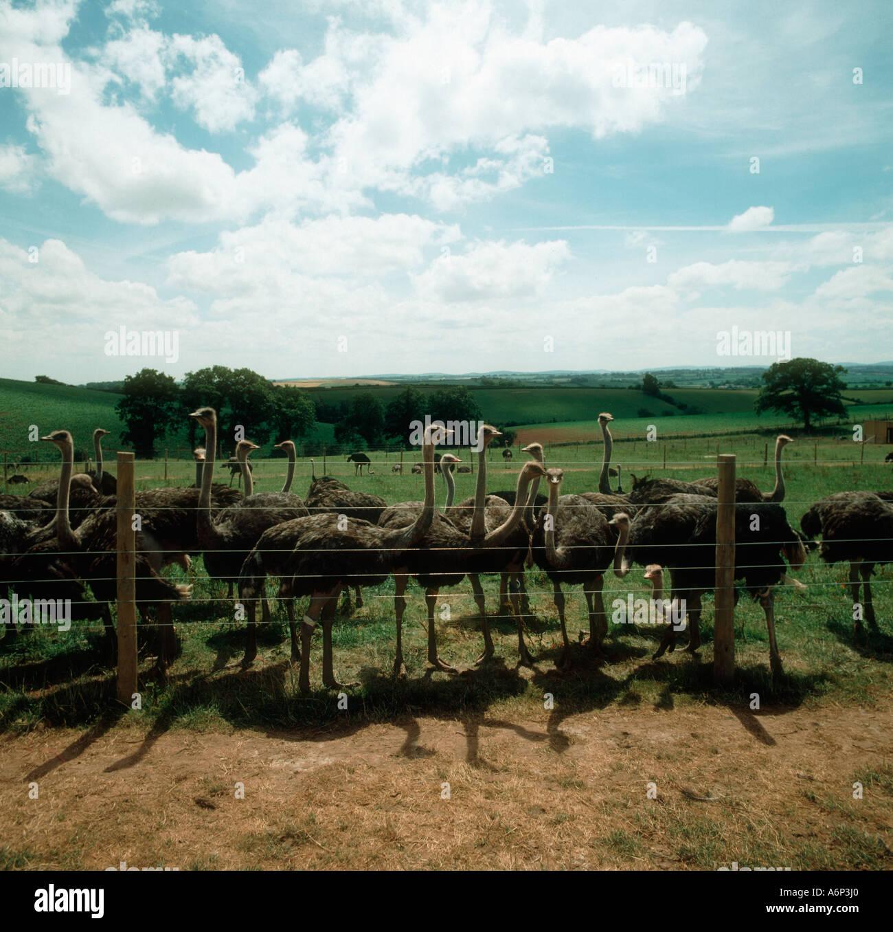 Totale Zäune mehrere Strauße hinter Hochseil auf einem Bauernhof in Devon Stockbild