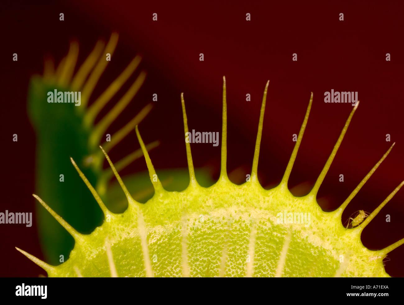 Abstrakte Schuss einer Venus Fliegenfalle Anlage hautnah. Stockbild