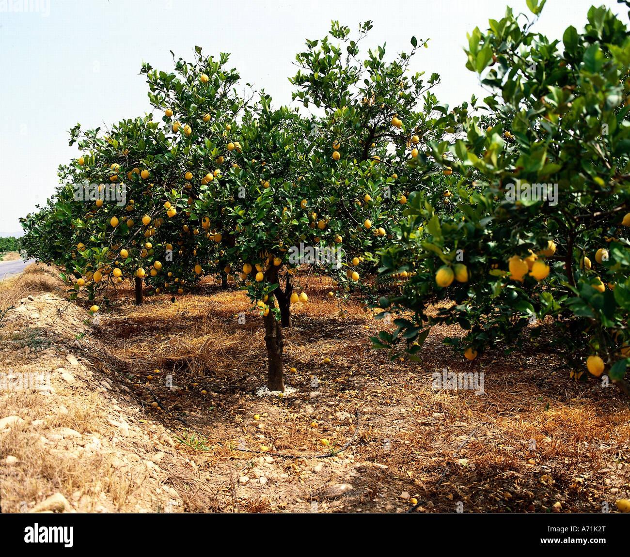 Ganz und zu Extrem Botanik, Zitrone (Citrus Limon), Zitronen, Bäume, Baum, Zitrone #NW_22