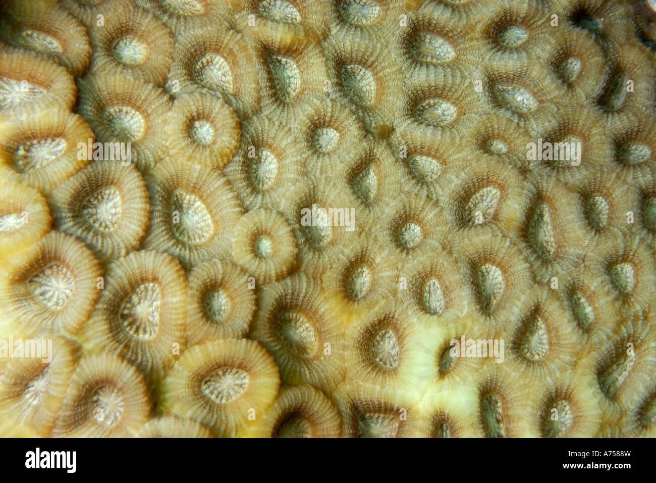 Harten Korallen Favia sp Jaboan Rongelap Atoll Marshallinseln Mikronesien Stockbild
