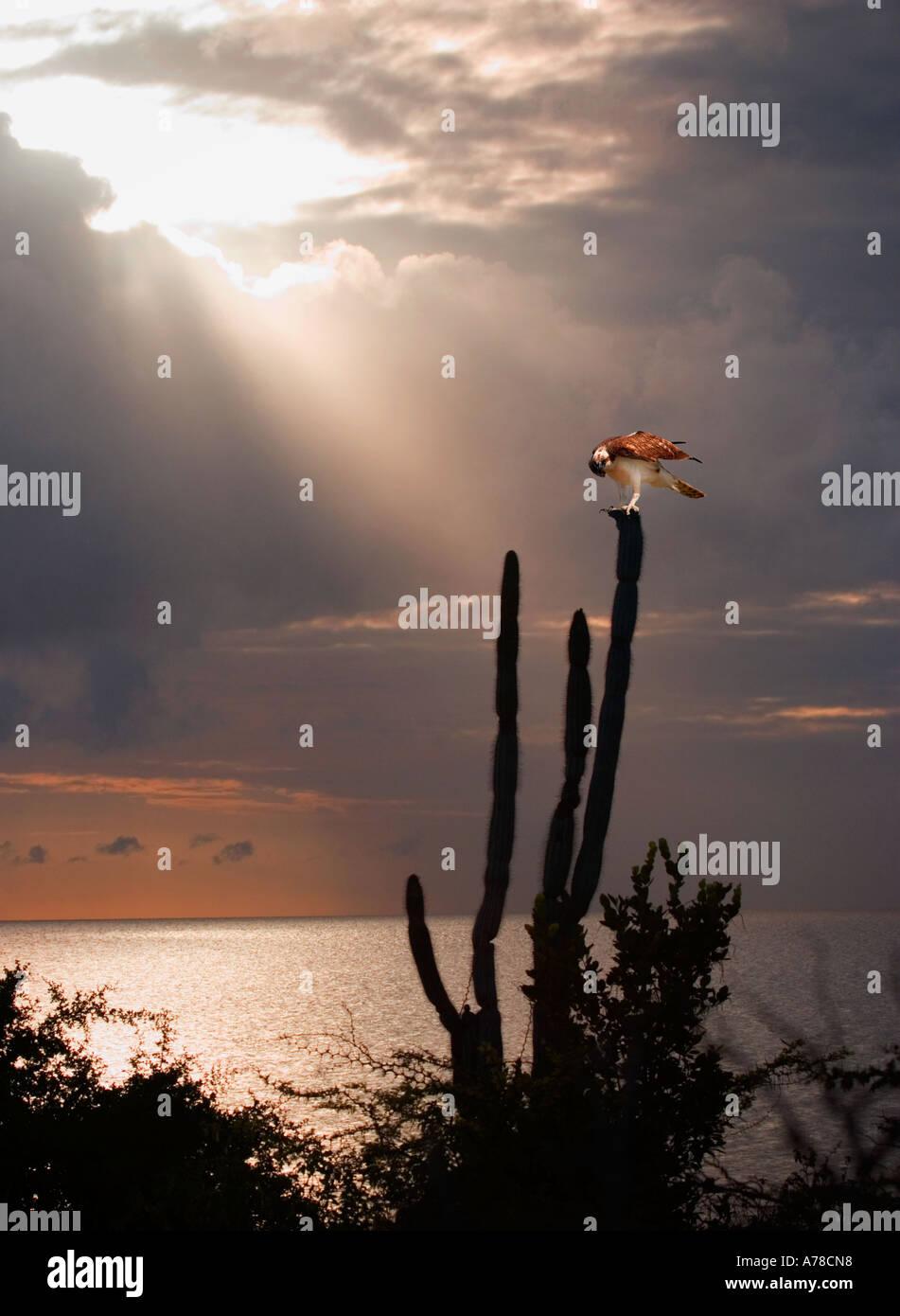 Fischadler auf Kaktus im karibischen Sonnenuntergang sitzen Stockbild
