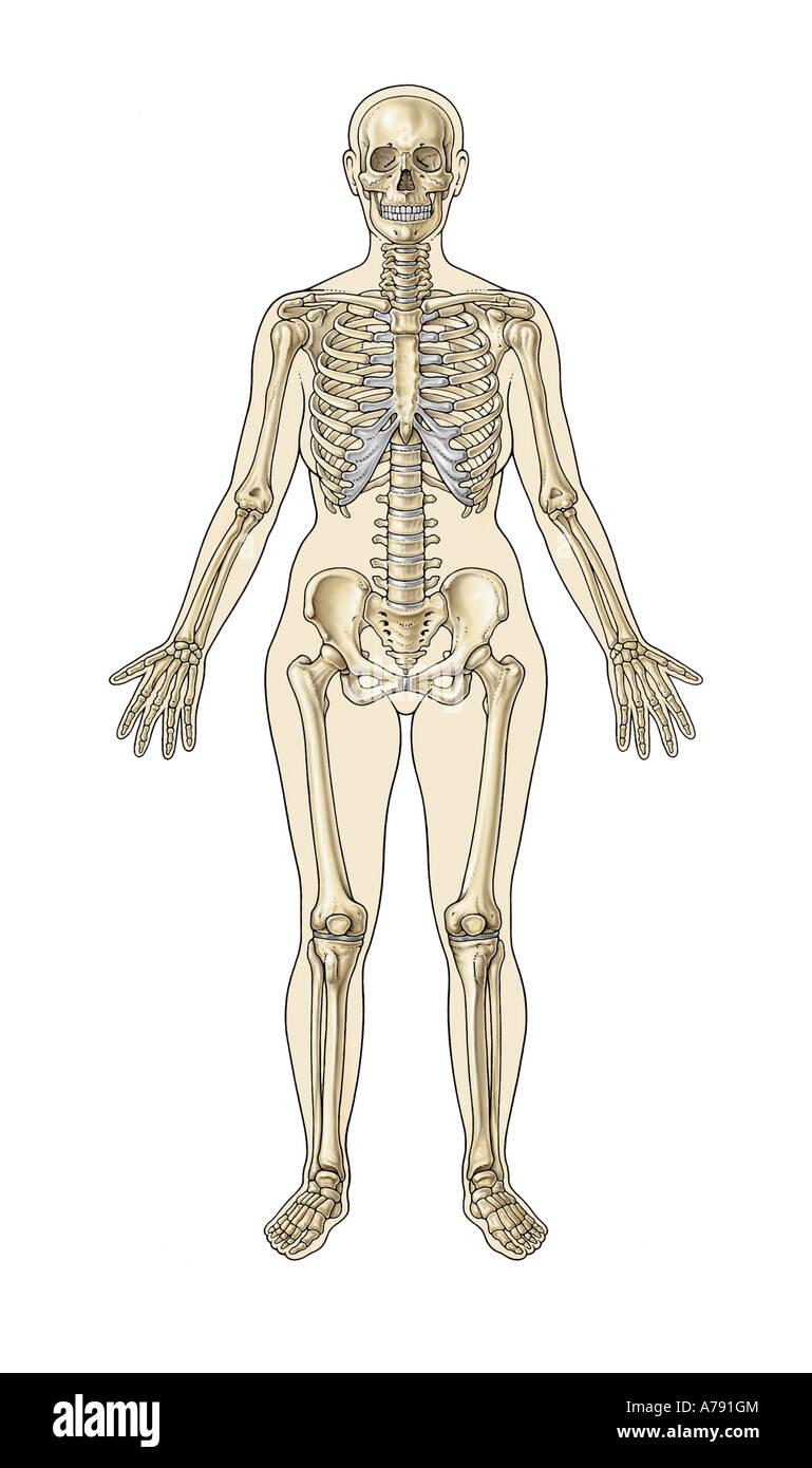 Wunderbar Große Teile Des Skelettsystems Zeitgenössisch ...