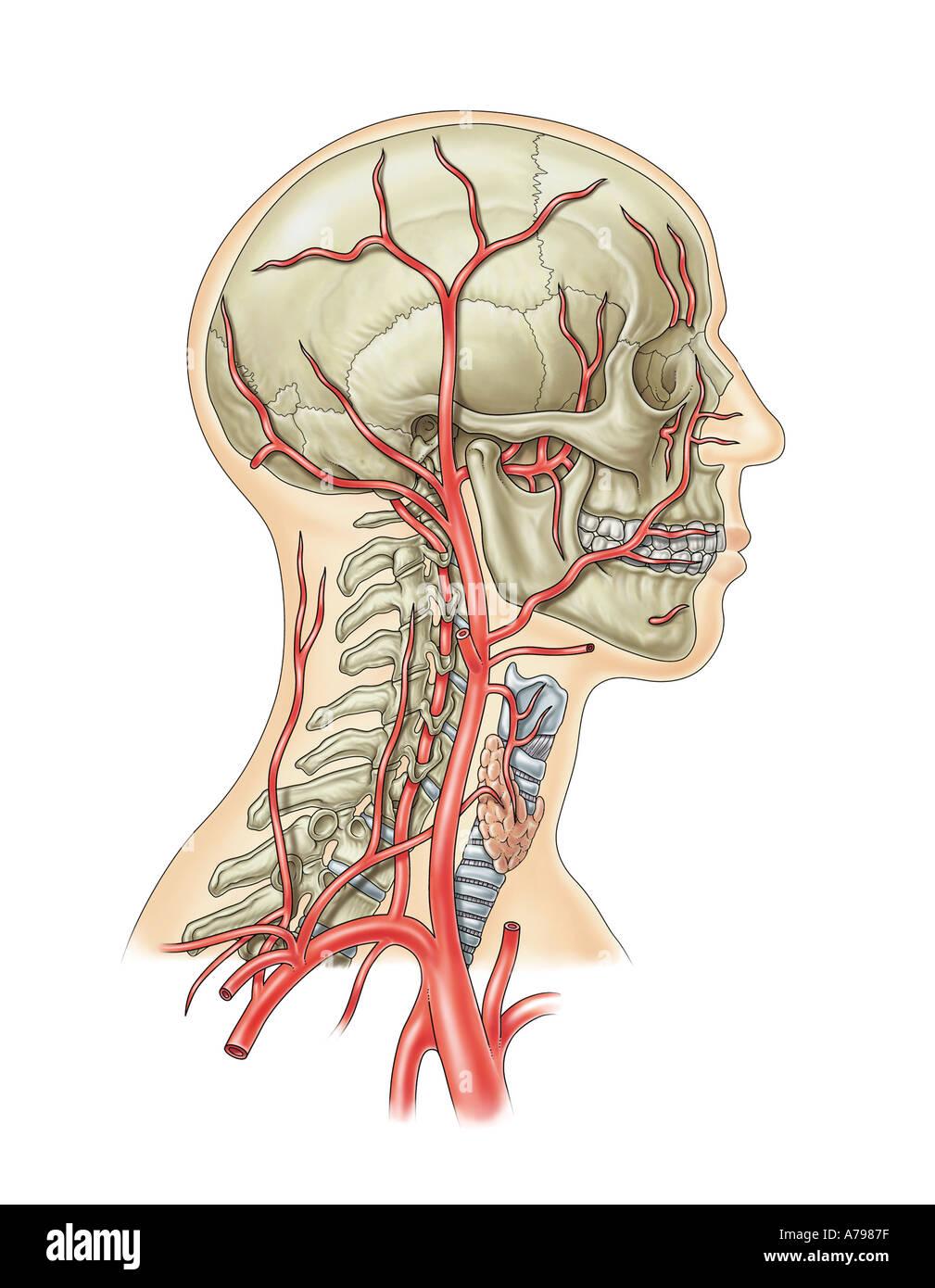 Schön Arterien Des Halses Und Des Kopfes Galerie - Anatomie Von ...