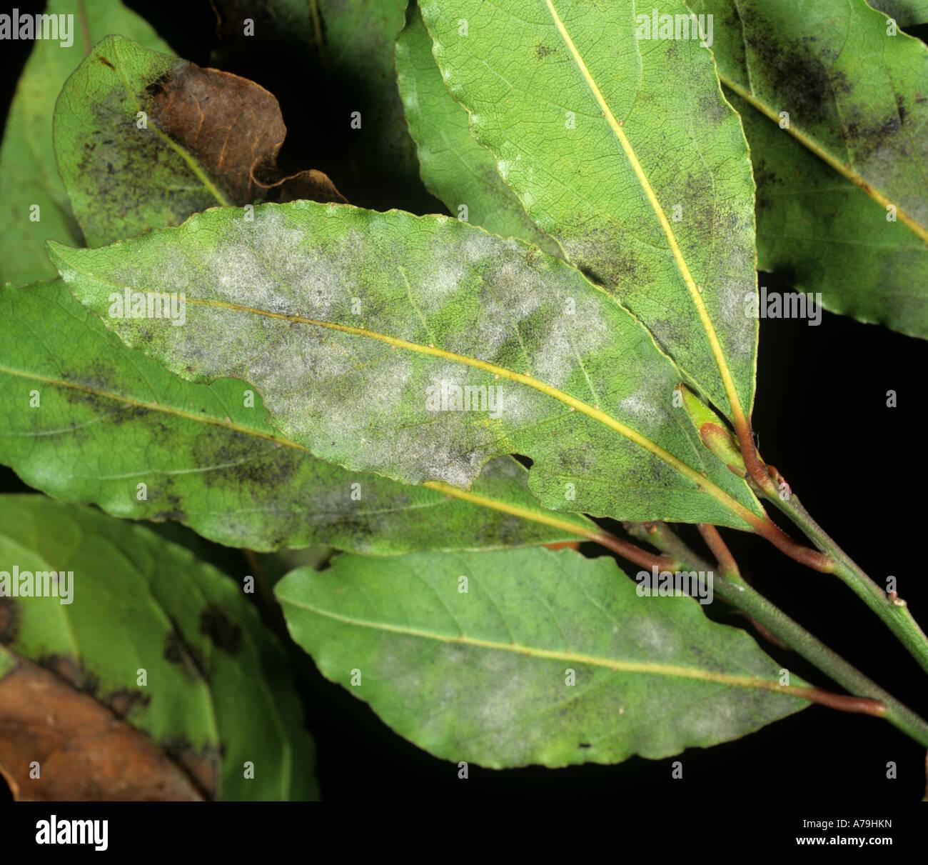 Echter Mehltau Oidium Lauraceum auf Sweet Lorbeer Laurus nobilis Stockbild