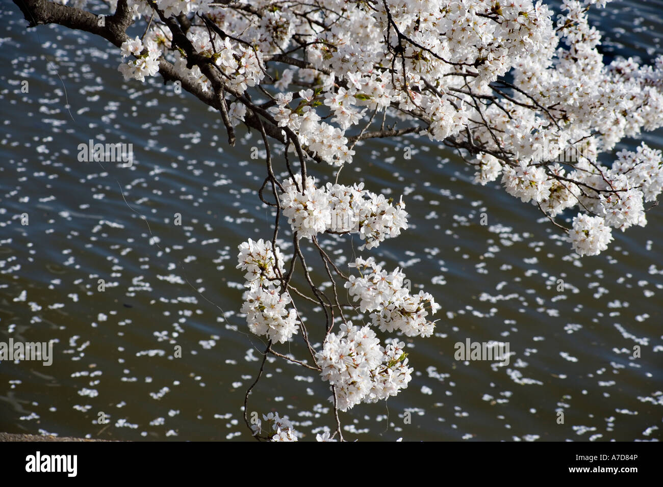 cherry blossom petals falling stockfotos cherry blossom petals falling bilder alamy. Black Bedroom Furniture Sets. Home Design Ideas