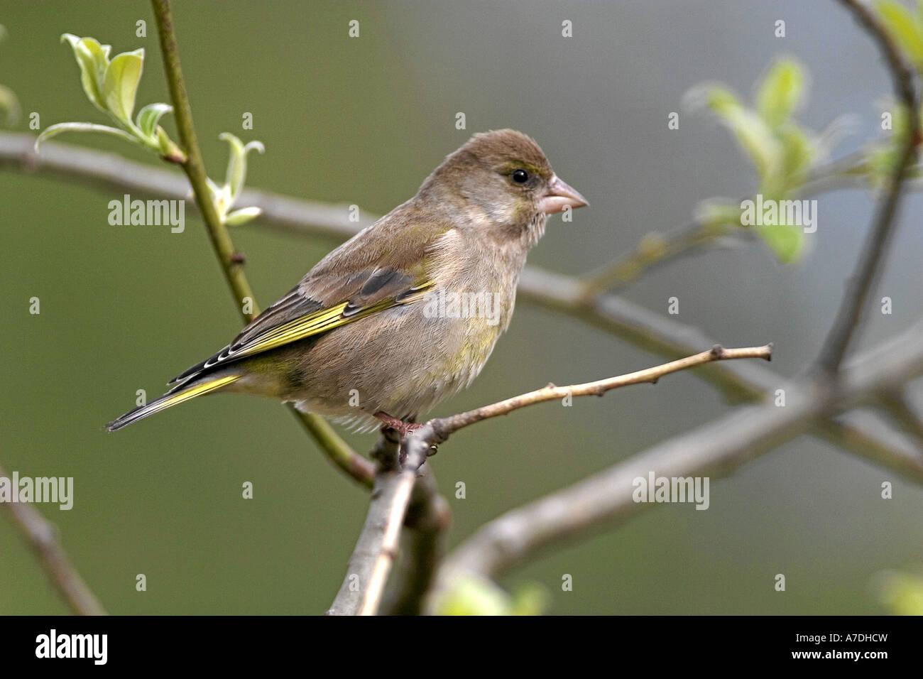Grünfink Zuchtjahr Chloris Gruenfink Europa Europa Tiere Tiere