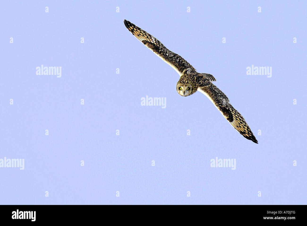 Sumpfohreule Fliegend Sumpfohreule Short eared Eule Asio Flammeus Europa Europa Stockfoto