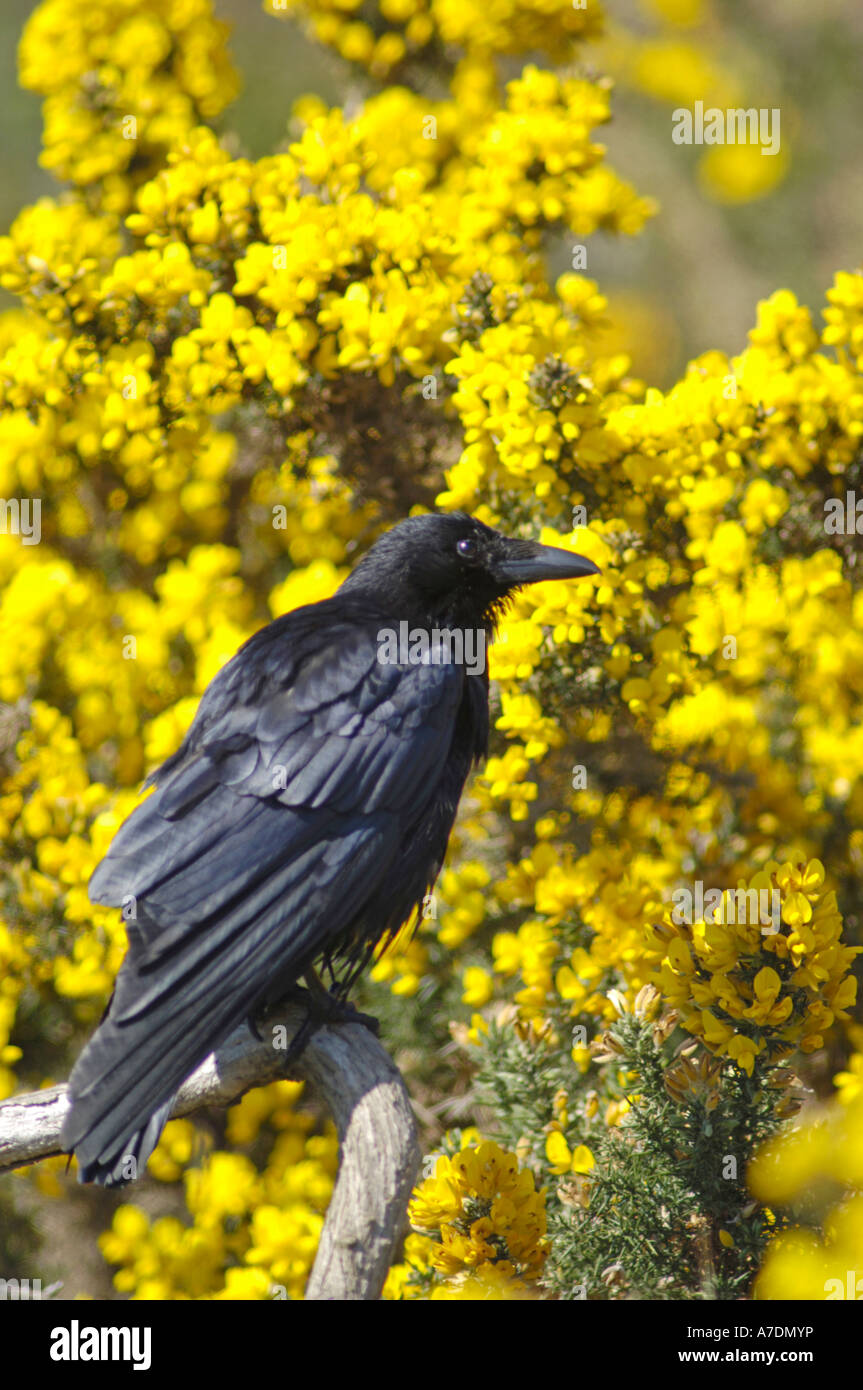 Gemeinsamen Rook Corvus Frugilegus XBI 6370 Stockbild