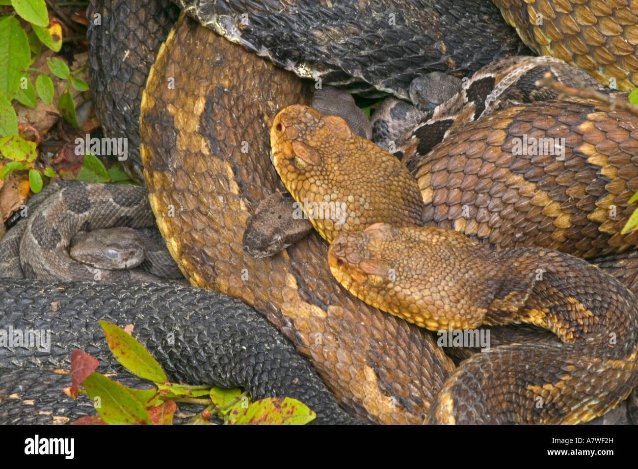 Holz-Klapperschlangen, (Crotalus Horridus), Pennsylvania, Erwachsene Female(s) und Neugeborenen jungen Stockbild