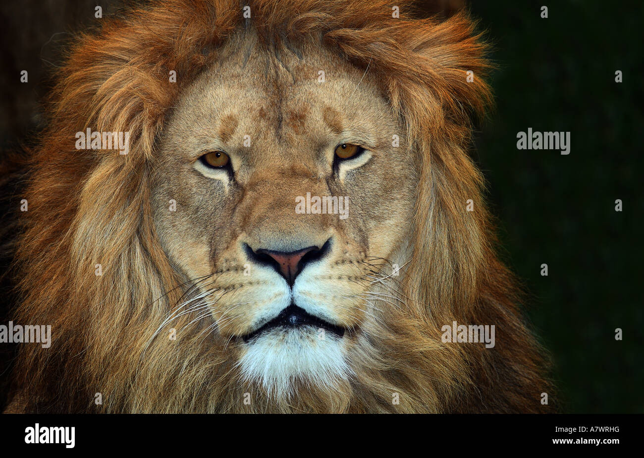 Lion Stockbild