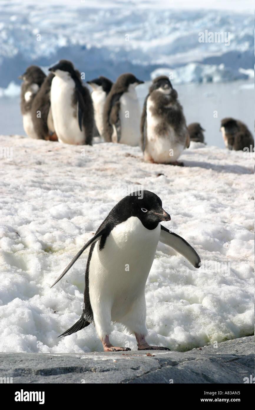 Gentoo Pinguine auf Peterman Island, antarktische Halbinsel. Stockfoto