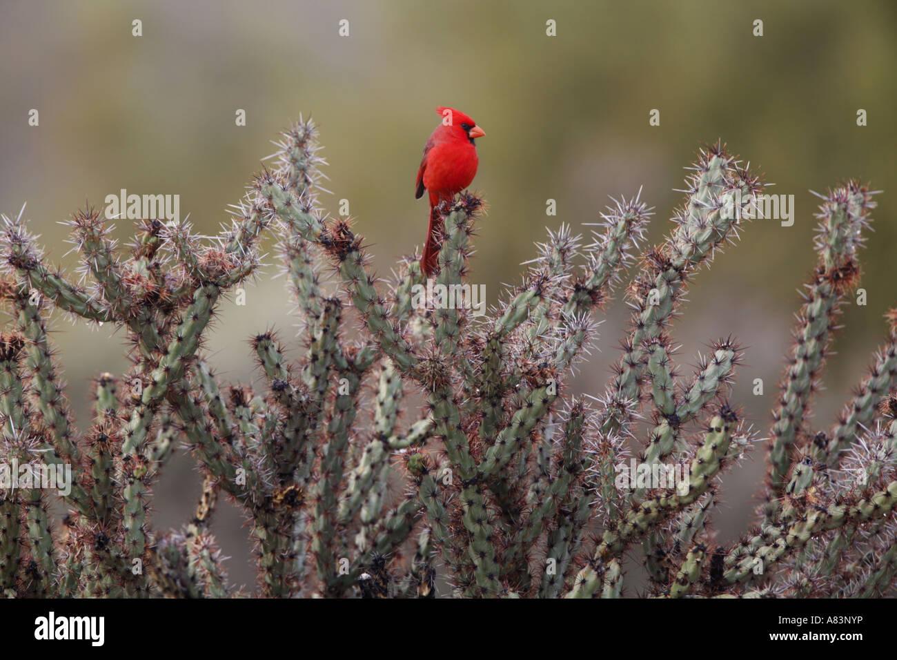 Eine nördliche Kardinal Cardinalis Cardinalis in McDowell Mountain Regional Park östlich von Phoenix in Stockbild