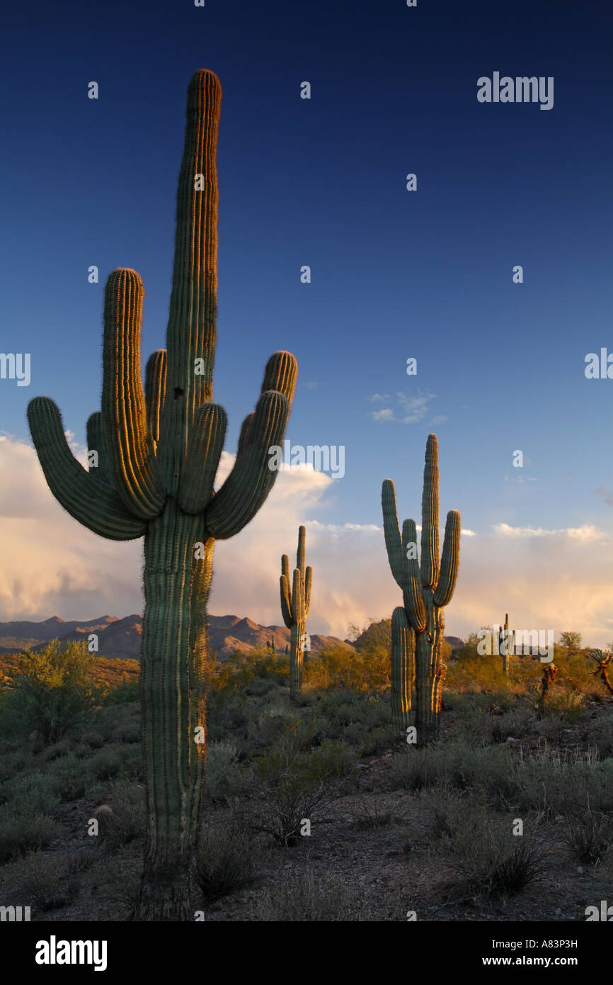 Saguaro-Kaktus in Fountain Hills in der Nähe von Phoenix Arizona Stockfoto