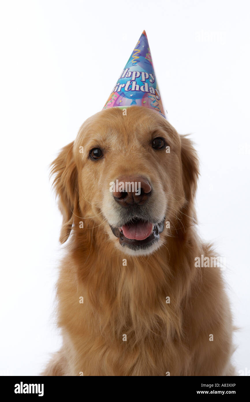 Golden Retriever Hund Geburtstag Hut Stockbild