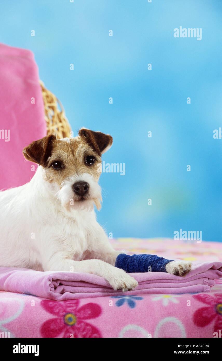 Die 469 besten Bilder von Jack russell terrier in 2020