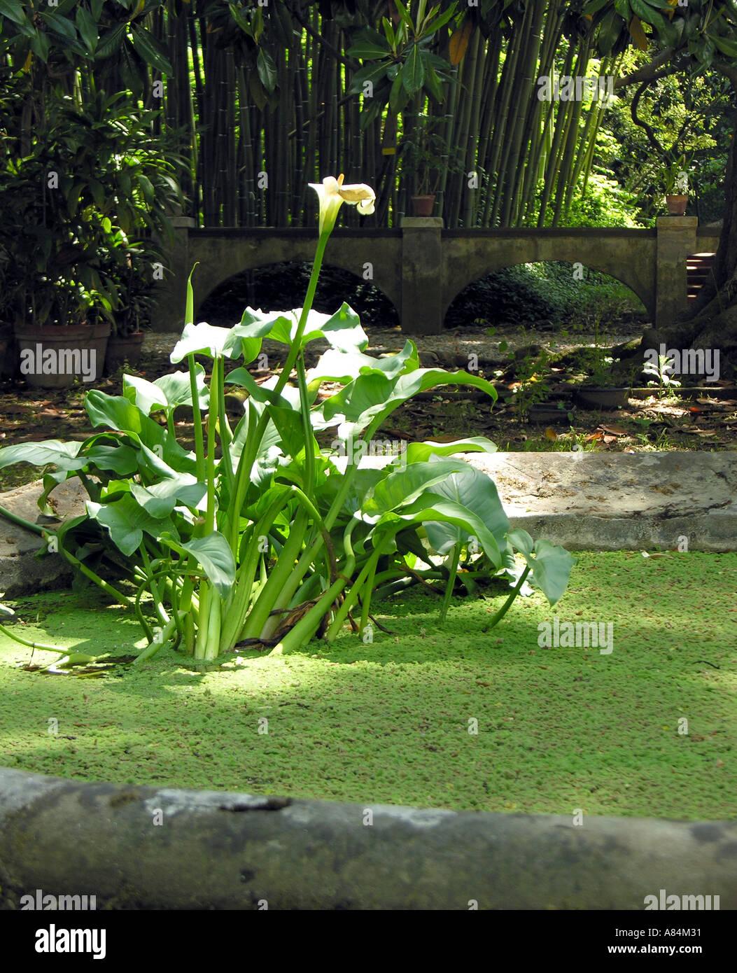 Außergewöhnlich Calla-Blüte im Botanischen Garten von Pisa-Toskana-Italien @KQ_52