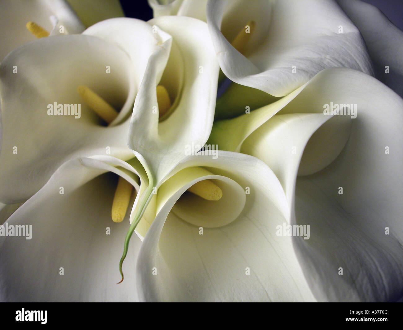 Bouquet von Calla Lilien. Stockbild
