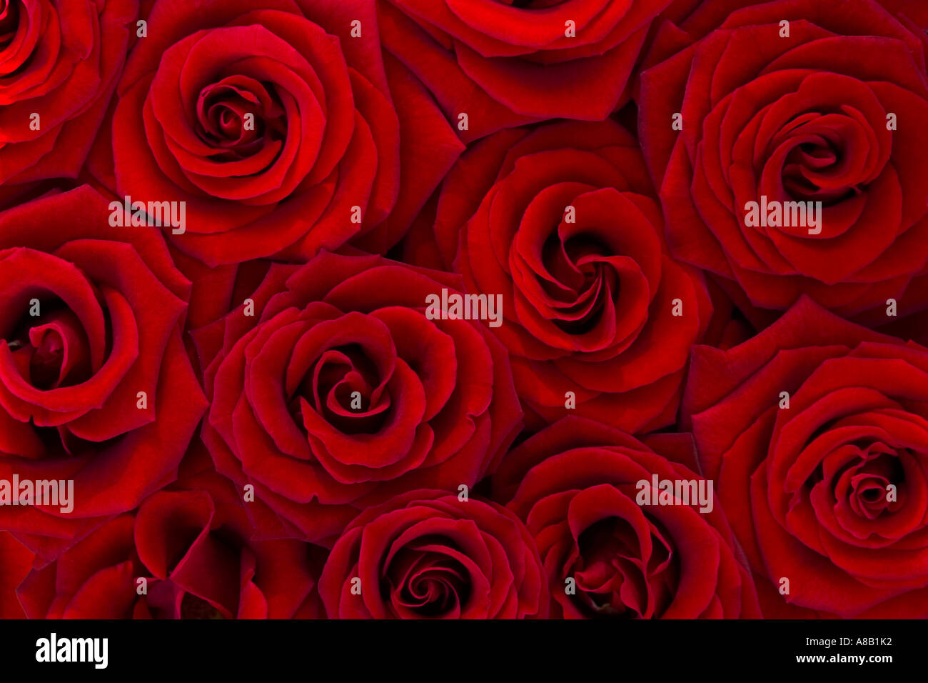 Rote Rosen Stockbild